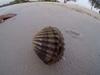さすが軟体動物! 貝殻の中に潜んでいたエイリアンのような生き物とは…?