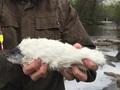 【驚愕】ついに伝説の魚「毛皮マス」が釣れた!? 全身を真っ白な毛で覆われた不思議な姿!!