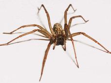 犬サイズの巨大クモが南米で発見される!