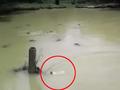 【人間は残酷すぎる】大量のワニが巣食う沼に、ネコを投げ入れる男たち!!=ペルー