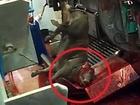 【食用牛への虐待】生きたまま吊るし、眼をえぐり、尾骨を折る… 残虐非道な実態が明らかに=イスラエル