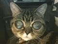 """宇宙人の目を持つ「エイリアン猫」マチルダちゃんが話題!! """"召使い""""の愛に支えられて一躍スターに!"""