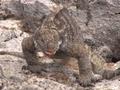地球温暖化によってハイブリッド動物が増加! 繁殖能力ないイグアナも…!?