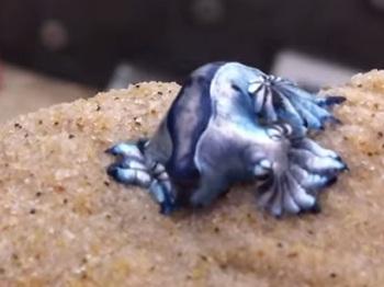 青い天使!? グロ美しい海洋生物「アオミノウミウシ」!!