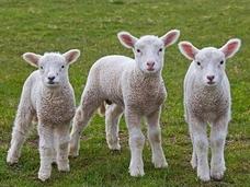 """遺伝子操作で透明になった""""クラゲ羊""""、市場に流通して大問題に!!=パリ"""