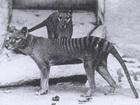 【目撃例多数】絶滅したタスマニアタイガーは、今もオーストラリア大陸で生きている!?