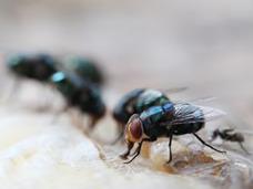 死体に群がる虫で死因を解明? 犯罪捜査に用いられる「法医昆虫学」