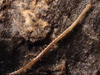 地獄の新種ムカデ「ペルセフォネ」 ― 地下1,392mの洞窟で発見される