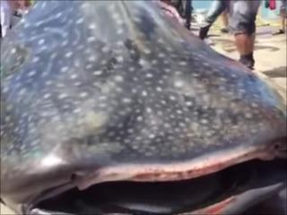 【閲覧注意】ジンベイザメを生きたまま輪切り解体、驚異の光景!