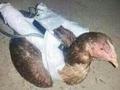 """武器不足のイスラム国が""""自爆チキン""""を開発!? 手作り化学兵器や放射能汚染兵器が使われる可能性も!?"""