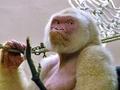 世界でたった1頭、アルビノのゴリラ ― その誕生に隠された意外な秘密とは!?=スペイン