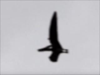 【驚愕動画】米国上空を飛ぶ翼竜「プテラノドン」が撮影される!!