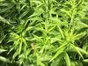 「北海道では商店街の片隅に大麻生えてる」フリーダムすぎる北海道の大麻事情