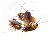 【テロ特集】ゴキブリの軍事利用が大変なことに…! 放射性物質を背負った「ゴキ軍団兵器」も!?