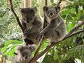 「捕鯨には反対するのに、コアラは殺処分」増えすぎたコアラ、安楽死へ!!=豪