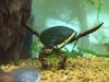 【絶滅危惧種】タガメ&ゲンゴロウ最強水生昆虫コンビ「そもそも昔からいないんじゃ…」