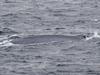 「絶滅の危機」なんて真っ赤なウソ!? シロナガスクジラの目撃相次ぐ!!