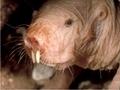 まったく老化しない奇妙な生物「ハダカデバネズミ」に隠された長寿の仕組みとは?