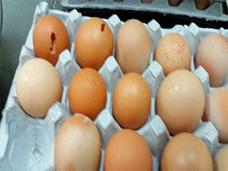 """糞尿にまみれた""""汚染卵""""1,500万個以上が、9年間にわたって大量流通……韓国ギョーテン食品衛生事情"""