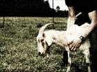 奇習! 「肉欲男たちの慰み」となった山羊とエイ=秋田県