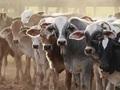 【閲覧注意】グロいのに中途半端…! 動物愛護団体の「擬人化・屠畜場演技」が茶番!