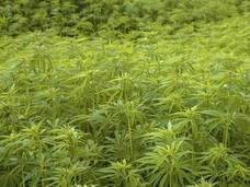 """米国人の約6割が大麻合法化に賛成!! TPP大筋合意で日本でも大麻""""解禁""""か?"""