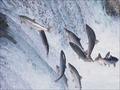 漁師も激怒、宮城県のサケ収穫量が激減! 東日本大震災、新たなる負の影響