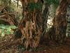 """雄から雌へと性転換するニューハーフ樹木""""フォーティンゴールのイチイ"""" ― 五千年の遥かなる時を経て"""