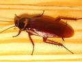 ゴキブリの咬合力は人間の約5倍のパワー! やはりゴキブリは食べた方がいい?