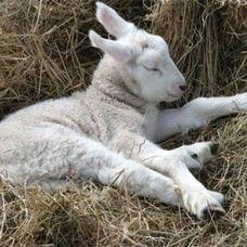 2000頭の羊がオナラして飛行機が緊急着陸!?