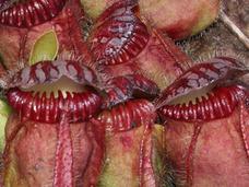 「悪魔の爪」、ネバネバ腺毛…! 世にも奇妙な世界の食虫植物5選