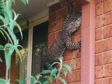 家の壁に巨大トカゲ出現で仰天!
