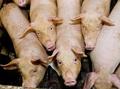 【閲覧注意】クリスマスの断末魔 ― 豚は死ぬ前に女のような声で絶叫する