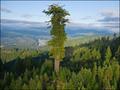 世界一高い木、ハイペリオン 地上から1番近い枝がビルの25階に相当