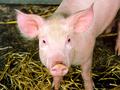 【閲覧注意】サル顔のブタが誕生! 獣医「キューバでこんな醜い豚は初めて」