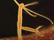 不老不死の生物の存在が明らかに! 永遠の命をもつ驚異の生命体「ヒドラ」の謎