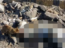 【閲覧注意】シリアの戦場が猫の餌場に!? 転がるテロリストの腐乱死体を貪る猫たち