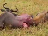 【閲覧注意】生きたままハイエナに喰われるヌーの姿にみる、自然の厳しさ 内臓を引きずり出され…