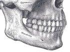 なぜ人間だけアゴ(オトガイ)を持っているのか? 生物学者もお手上げの人体ミステリー