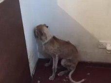 """痩せ細り、毛も抜かれ… 虐待を受けた""""トラウマ犬""""が人間を拒絶する様子とは?"""