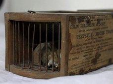 155年前のネズミ捕りにつかまって死んだ世界一残念なネズミ! 不運を称えて剥製化の予定も