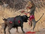 【閲覧注意】バッファロー対ライオン! ワニ対カバ! 野生動物の命を懸けた無差別マッチの意外な行方は!?
