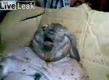 【閲覧注意】デブで醜悪な人面ネズミが出現! 股間に不思議な黒い物体…ブタの可能性も?