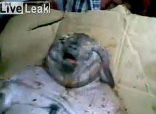 【【閲覧注意】デブで醜悪な人面ネズミが出現! 股間に不思議な黒い物体…ブタの可能性も?