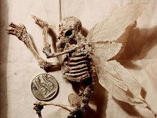 """「妖精のガイコツ」が発見される…!? 生物学者が残した""""異形の標本""""の正体とは?"""