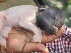 透明ブタ、双頭ヤギ、象鼻の仔犬… 南米で多発する奇形動物の原因とは!?=アルゼンチン