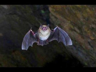 【オーストラリアの街が10万匹のコウモリの襲来により非常事態を発令!