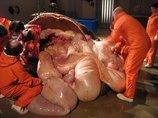 【閲覧注意】巨大ゾウを解剖、内臓があふれだす光景がグロすぎる! 長い鼻を切り開いてみたら…!!