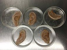 人間の細胞をリンゴに移植、耳を作り出すことに成功! マッドサイエンティストのヤバすぎる人体再建計画とは!?