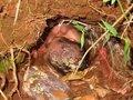 24時間生き埋めにされた赤ん坊が生還! アルマジロの巣穴の中で一体何が? =ブラジル